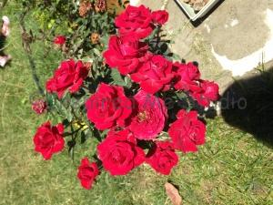 My mini red roses.