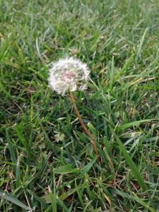 That flirtatious little dandelion puff n our garden... It's floriography meaning is coquetry.