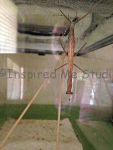 Female Chinese Mantis called Awesome Sauce, molting to pre sub adult. Sixth Instar.