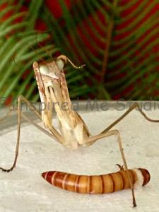 Sub adult male Chinese mantis with deformed raptors after a miss molt.