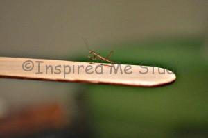1st Instar Tenodera Sinensis (Chinese Praying Mantis)